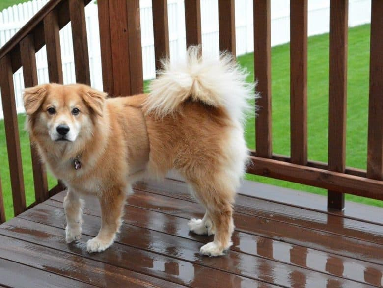 Golden Retriever and Chow Chow mix dog standing on the deck