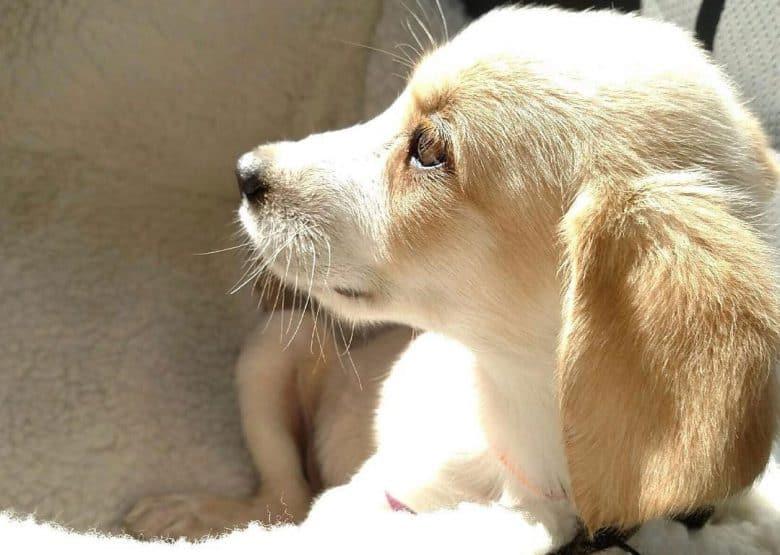 Golden Retriever and Shih Tzu mix dog portrait