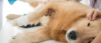 Sick Golden Retriever in a veterinary clinic for checkup