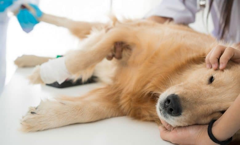 Sick Golden Retriever in a veterinary clinic for a check-up