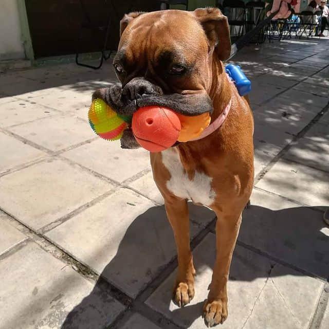 Goofy Boxer dog
