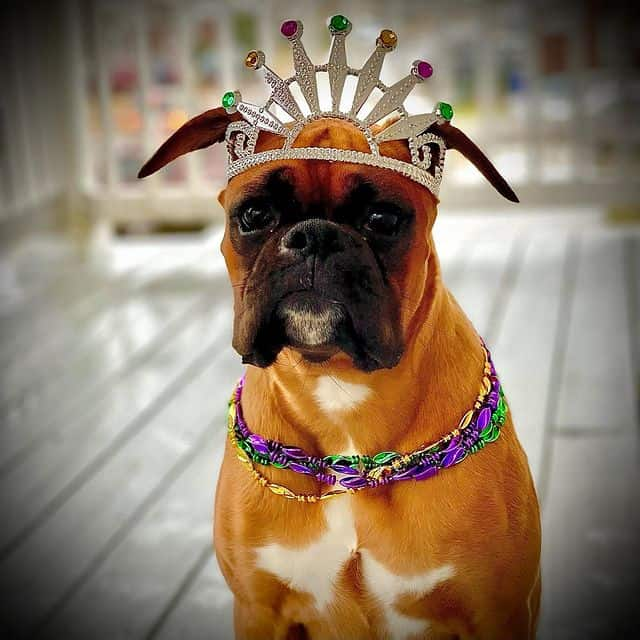 Gorgeous Boxer dog with her crown and necklace