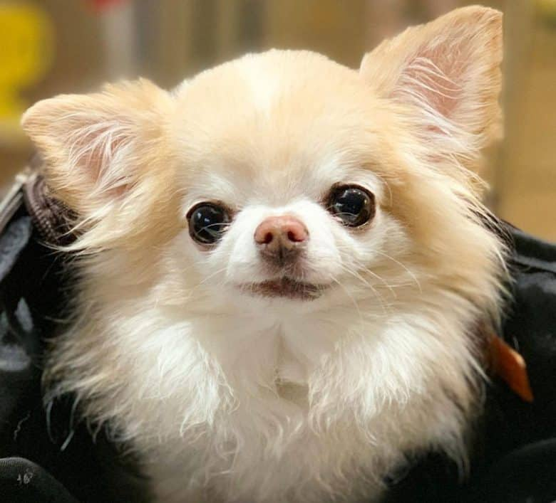 Gorgeous long haired Chihuahua dog portrait