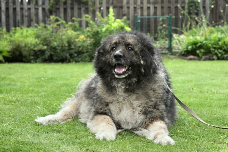 A gray adult Caucasian Shepherd dog smiling while laying on grass
