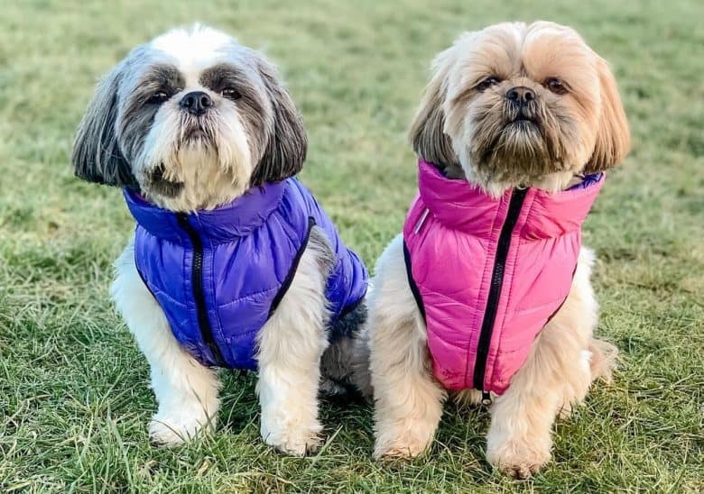 a gray and brown Shih Tzu wearing puffer jackets sitting on the grass