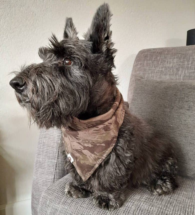 The Scottish Terrier What A Diehard Fan Needs To Know K9 Web