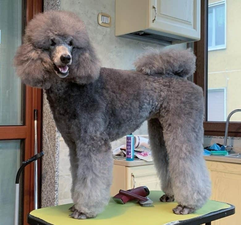 A gray Standard Poodle groomed and had Puppy Clip