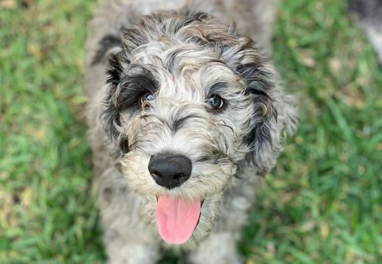 A Great Danedoodle smiling