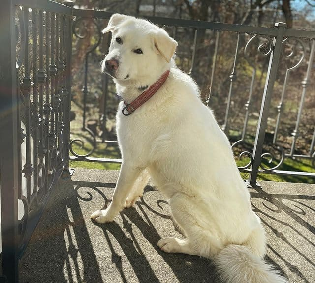 Great Pyrenees and Akbash Shepherd mix