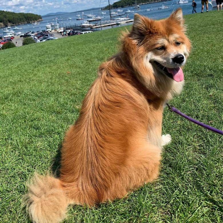 Great Pyrenees and Chow Chow mix
