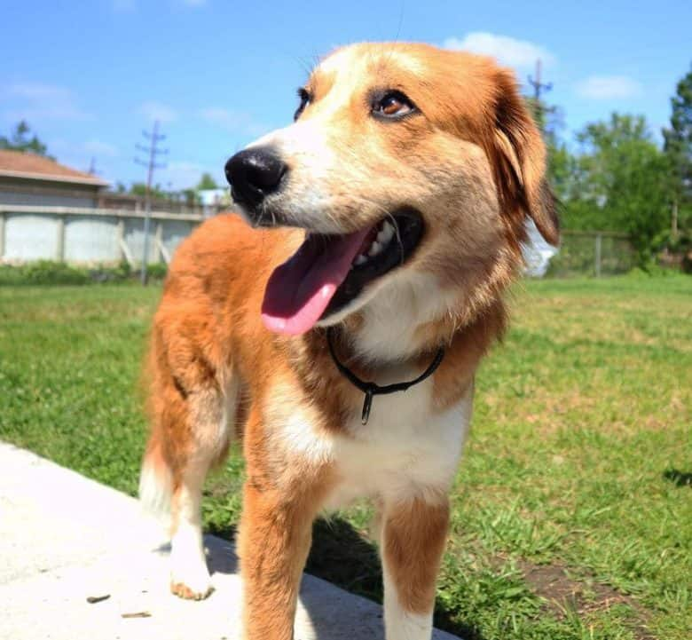Great Pyrenees and Collie mix