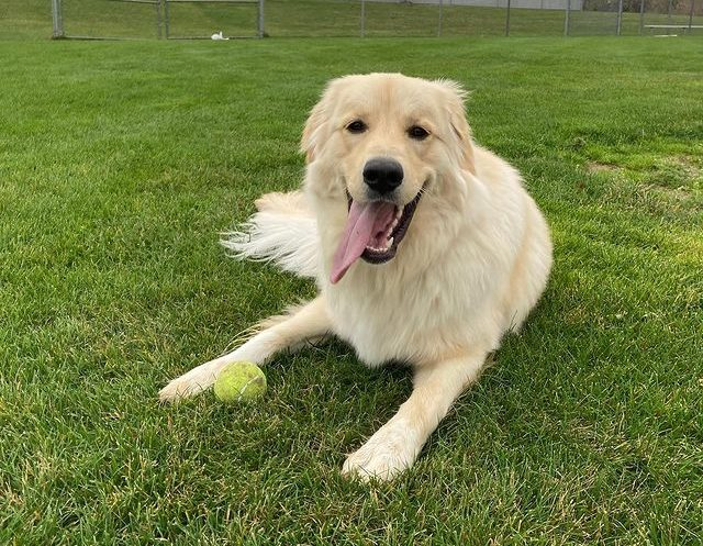 Great Pyrenees and Golden Retriever mix