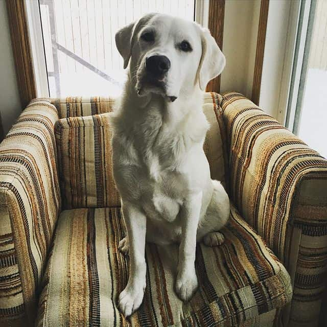 Great Pyrenees and Pit Bull mix