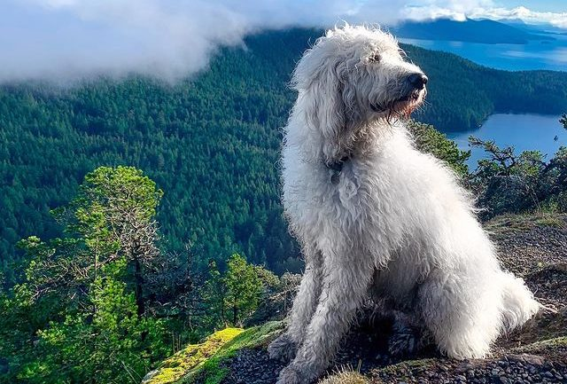 Great Pyrenees and Poodle mix