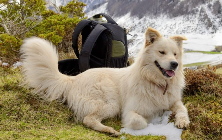 Great Pyrenees dog with snow mountain background
