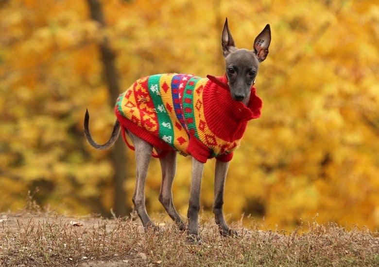 A dressed little Italian Greyhound dog