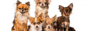 The most comprehensive Chihuahua growth chart on the internet