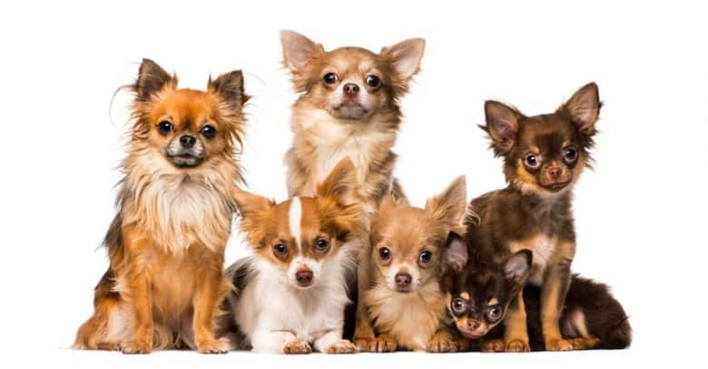Group of Chihuahua dogs portrait