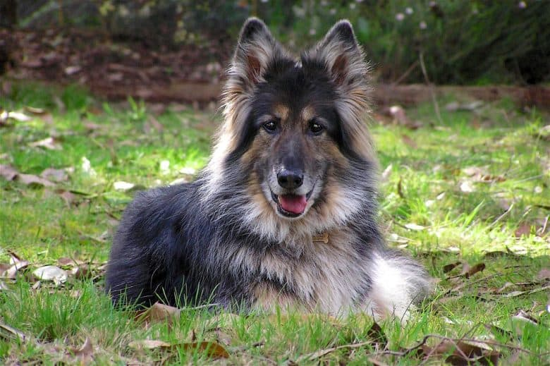 A long haired German Shepherd dog laying and smiling on grass