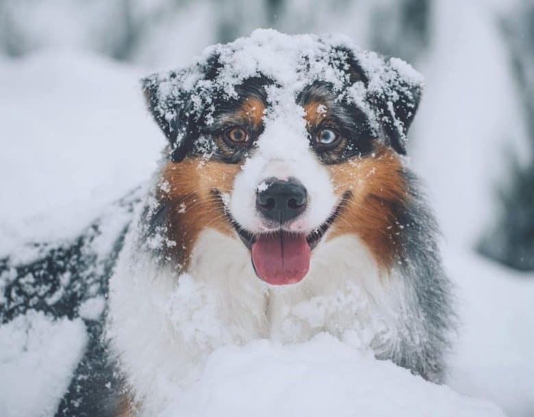Happy Aussie Shepherd in the snow