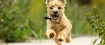Happy Cairn Terrier puppy running