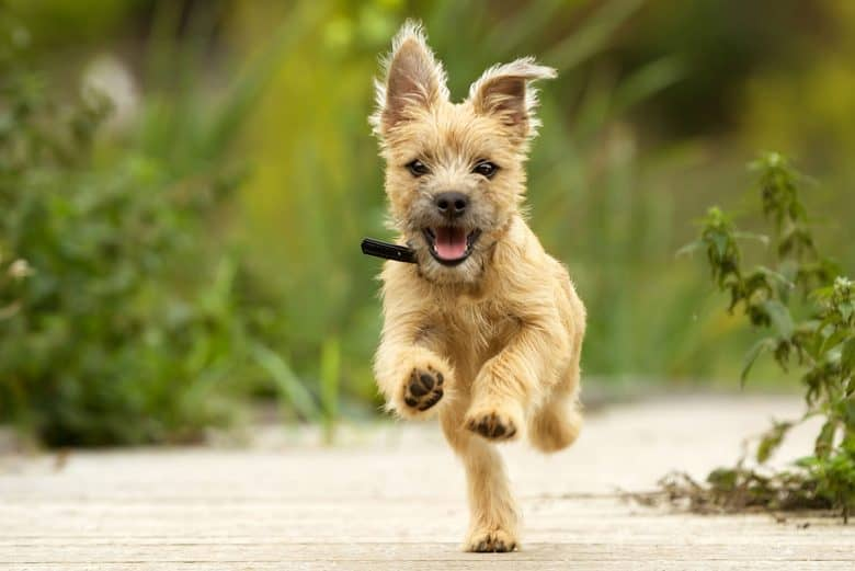 Happy Cairn Terrier puppy running