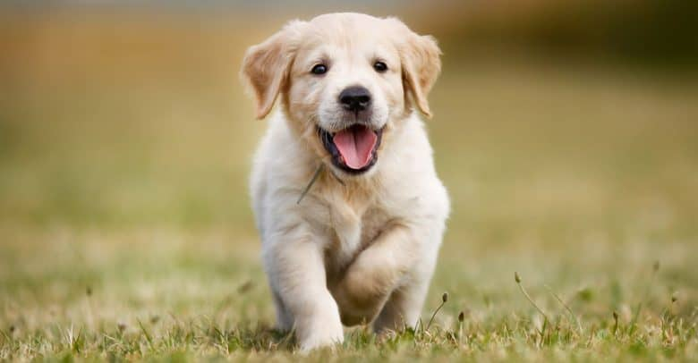 Happy purebred Golden Retriever puppy