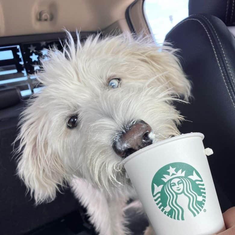 Happy Husky Poodle mix enjoying its drink