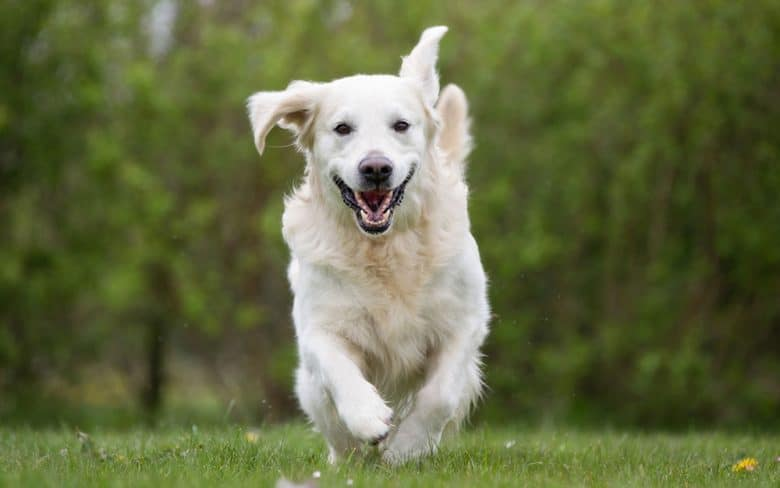 Happy Retriever dog running outdoor