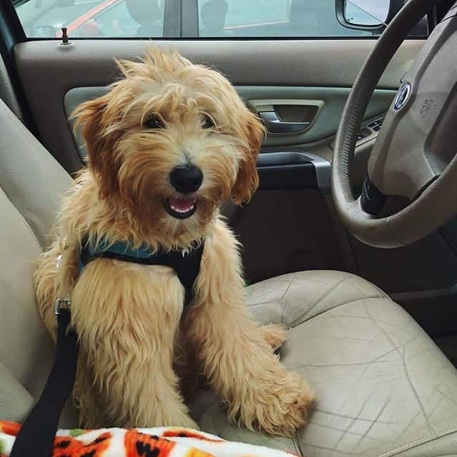 Happy Whoodle in the driver seat