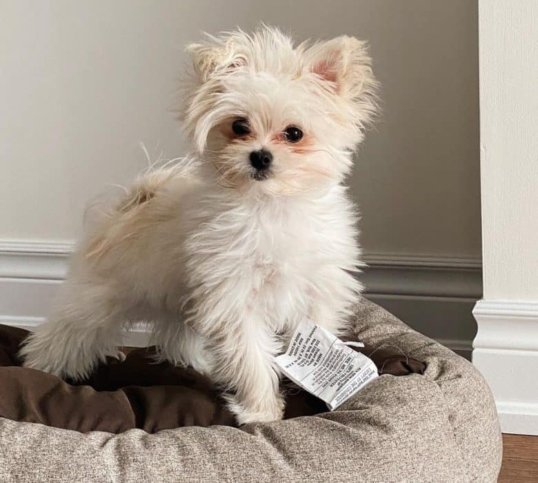 A healthy white Maltipom on doggy bed