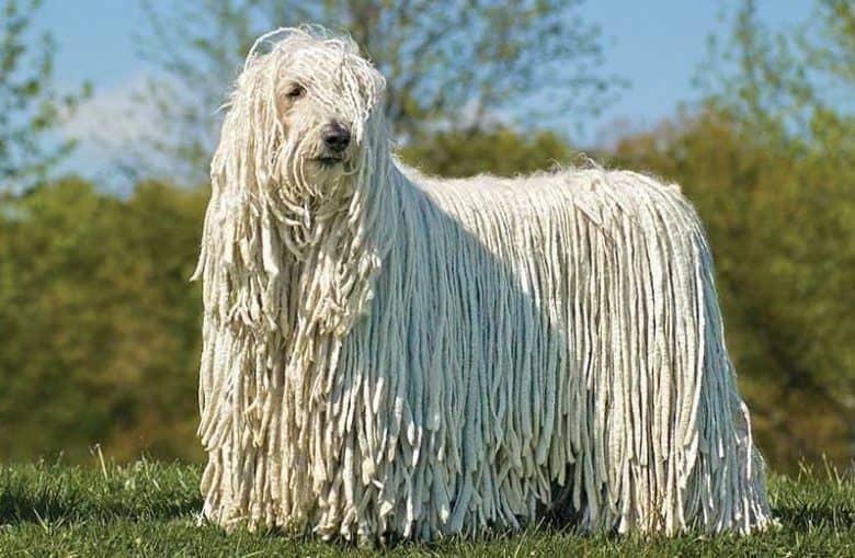 Hungarian Sheepdog portrait on grass