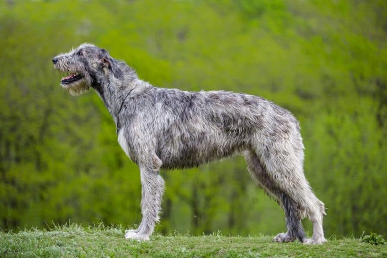 a portrait of an Irish Wolfhound standing showing side profile