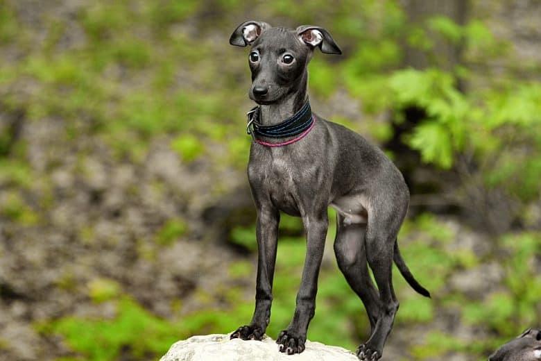 Italian Greyhound in the grass