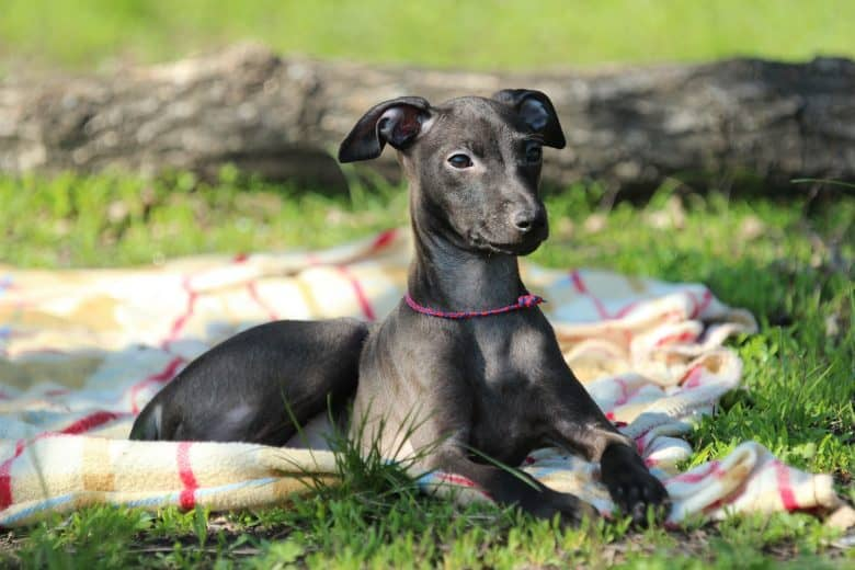 An Italian Greyhound dog laying on a blanket proudly