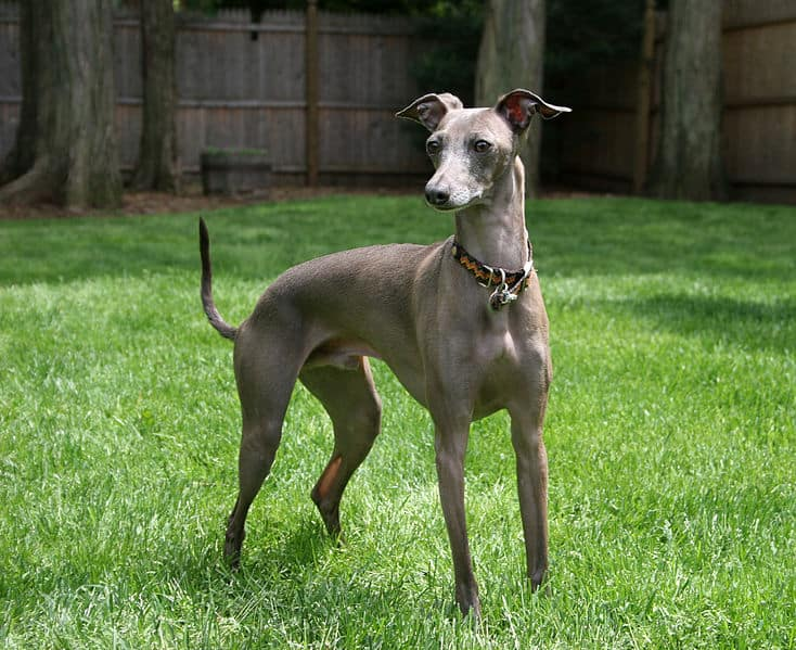 An Italian Greyhound looking majestic while standing