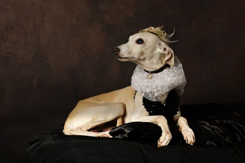 An Italian Greyhound looking sophisticated wearing a crown