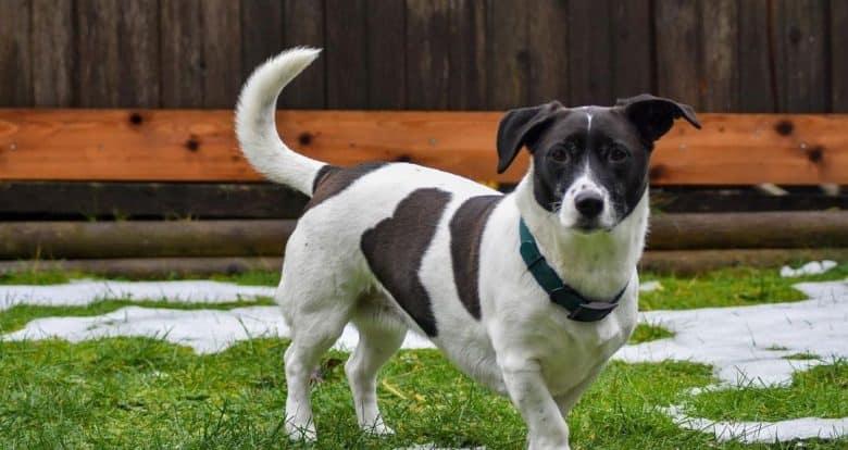 Jack Russell Terrier Lab mix portrait