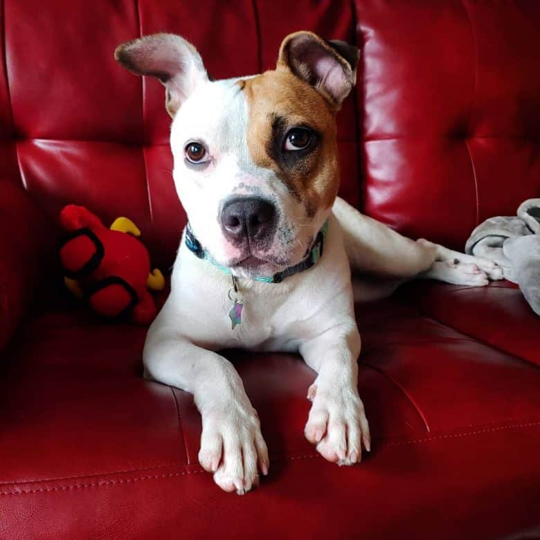 Jack Russell Terrier and Pit Bull mix dog lying on the red sofa