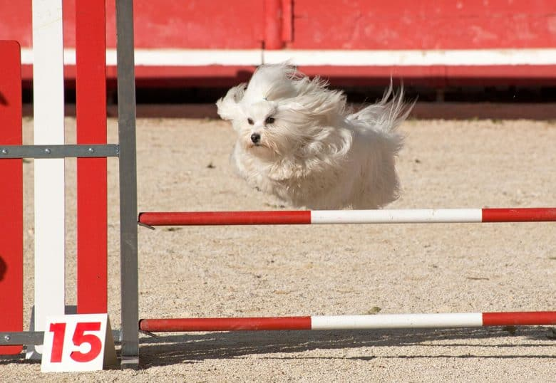 Jumping Maltese dog in an agility competition