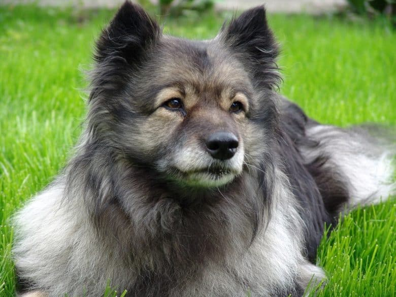 The close-up portrait of Keeshond dog