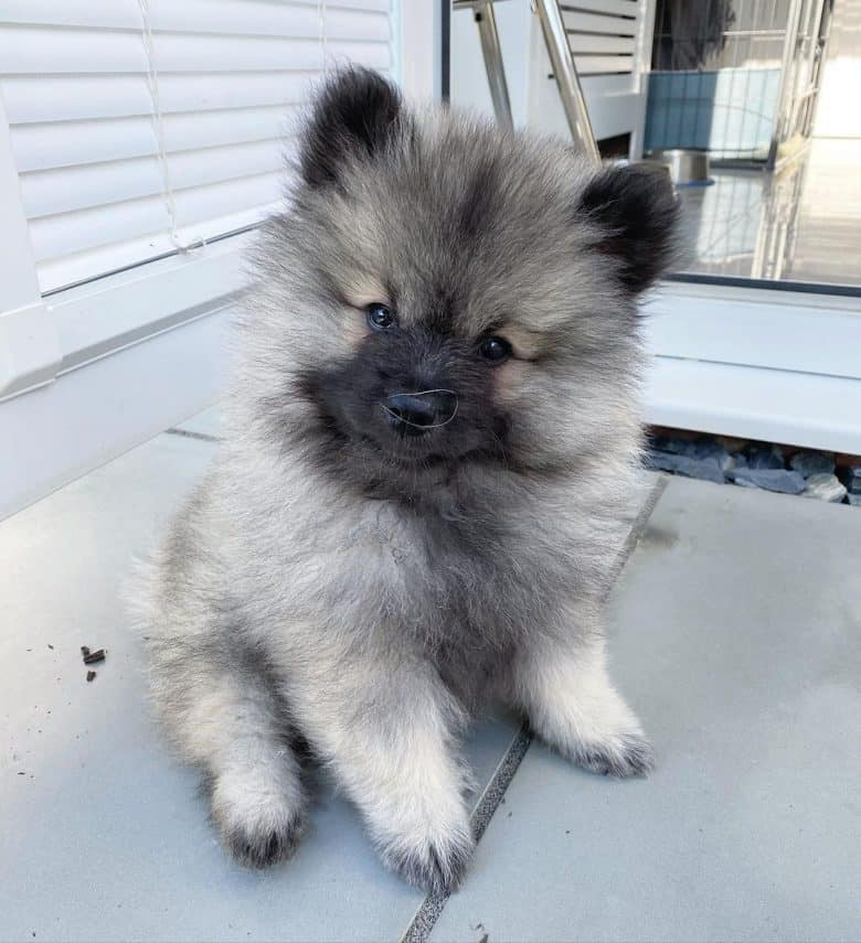 A Keeshond puppy tilting its head and looking curiously