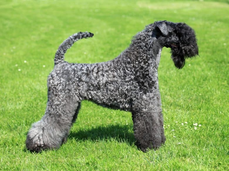 A muscular Kerry Blue Terrier with a curved tail, standing on the grass