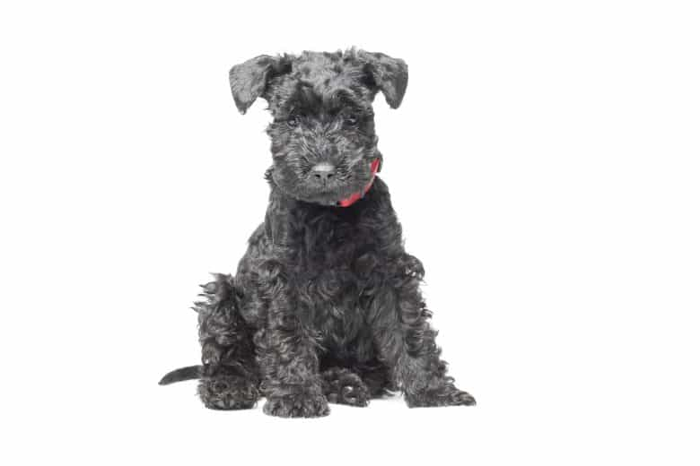A 7 week old Kerry Blue Terrier puppy sitting