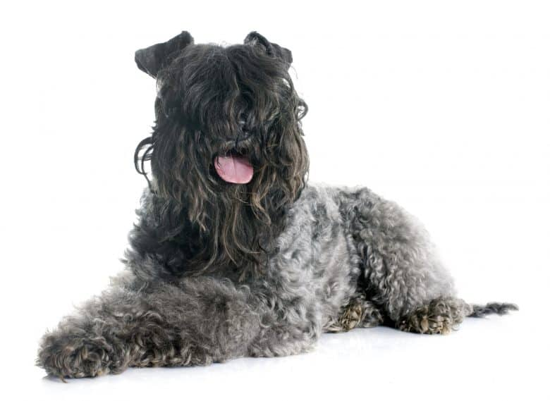 A Kerry Blue Terrier with curly hair smiling and laying down
