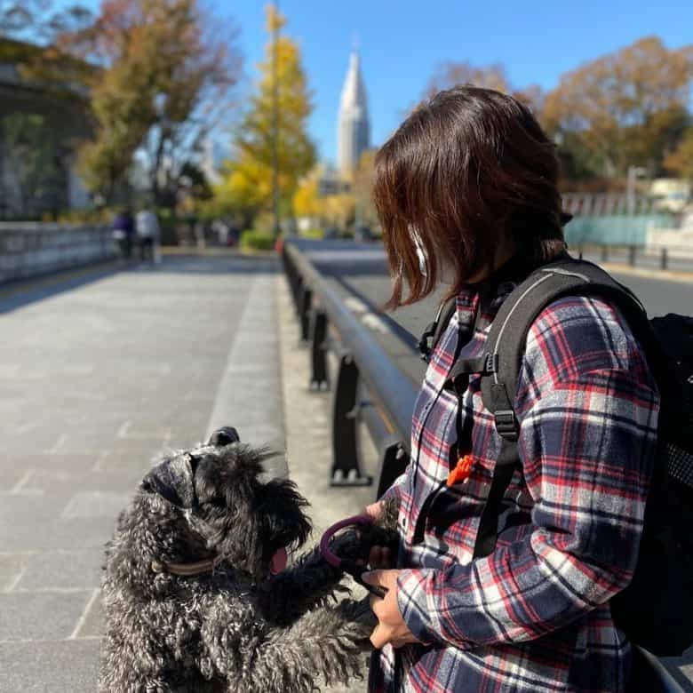 A Kerry Blue Terrier standing on two hands with owner