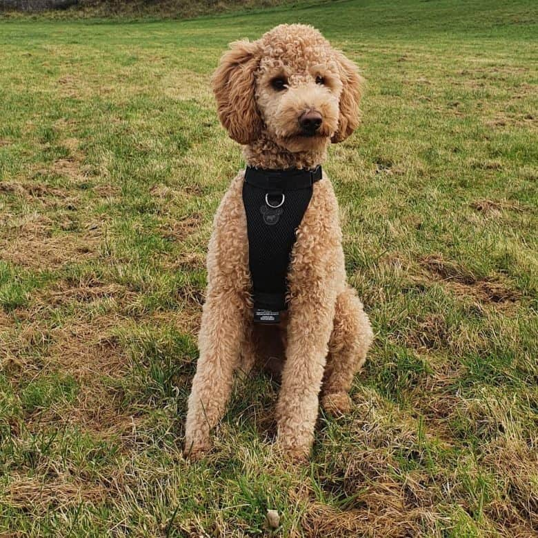 A Poodle sitting on grass while being photographed