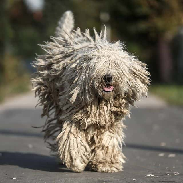 a Komondor exercising and running while smiling eyes covered