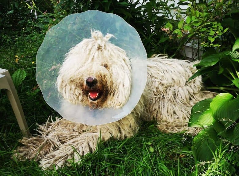 A Komondor wearing a dog cone and smiling