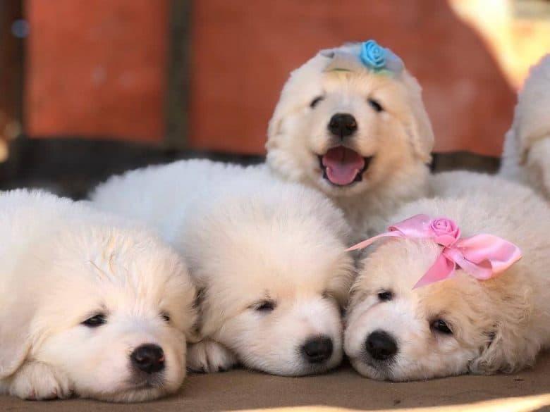 Four charming Kuvasz puppies